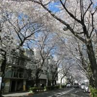桜のトンネル。あまり人も多きはないので上を見ながらゆっくり行けます。